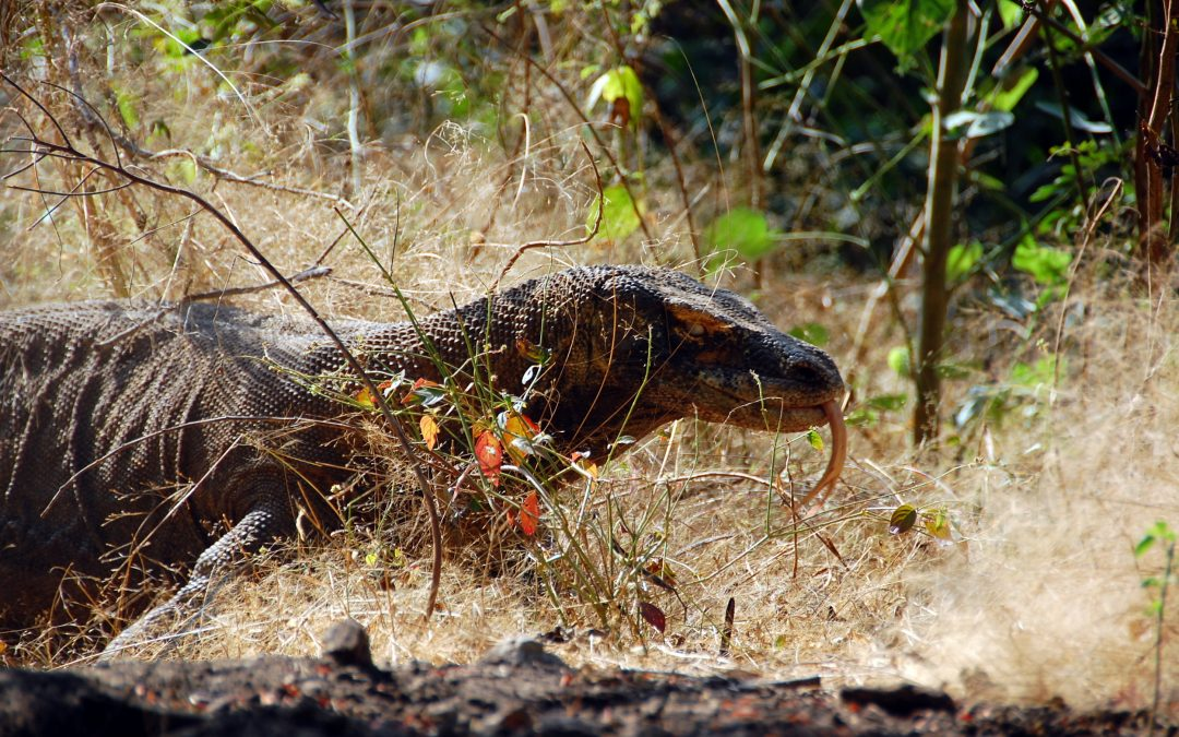 Adventures with Komodo Dragons in the Wild